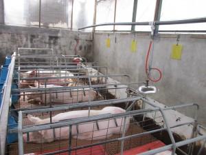 Area de cerdos con criadoras instaladas y operando