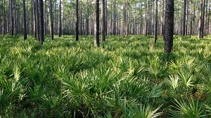 Saw Palmetto Berries Research Industry Analysis, Growth, Size, Share, Trends, Forecast to 2024